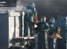 Abattages de canard dans le sud ouest. la vidéo choc