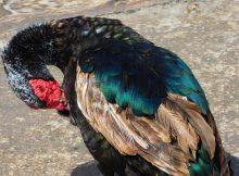 Grippe Aviaire. des milliers de canards abattus dans les Hautes Pyrénées