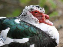 Tous les canards des Landes abattus. une éradication bientôt étendue aux Hautes Pyrénées