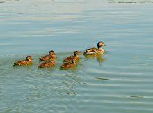 Grippe Aviaire. Le Foll présente son plan d'indemnisation