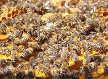 Le gouvernement va t il autoriser un pesticide nuisible aux abeilles ?