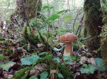 La saison du cèpe a bien débuté dans les Hautes Pyrénées