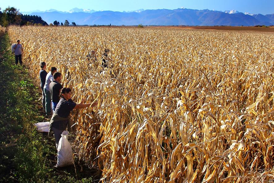 La récolte du Haricot Tarbais 2017 vient de démarrer