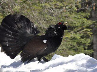 Chasse au Grand Tétras dans les Hautes Pyrénées, l'Etat lourdement condamné