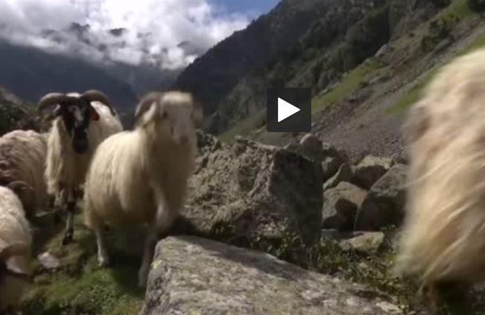 Dans les Pyrénées, retour des estives