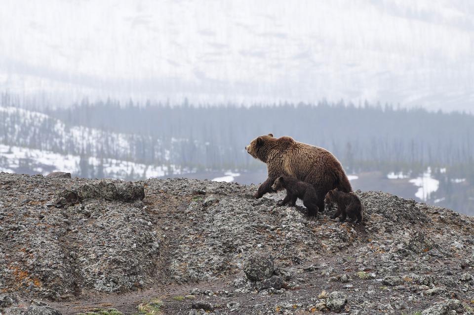 De Rugy confirme la réintroduction de 2 ours dans les Pyrénées