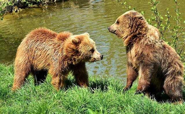 La 2e ourse relâchée dans les Pyrénées était elle à l'aéroport de Tarbes Laloubère ?